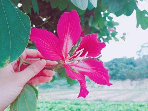 Rực rỡ sắc hoa Ban tại Hà Nội