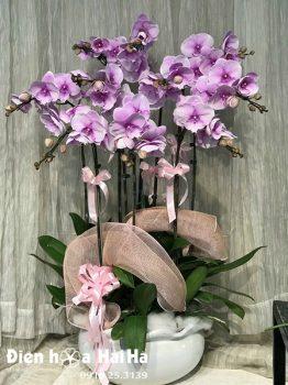 Chậu hoa lan hồ điệp 10 cây màu hồng