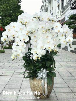 Chậu hoa lan hồ điệp 10 cây màu trắng