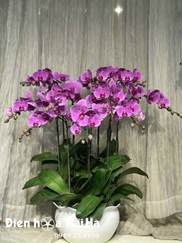 Chậu hoa lan hồ điệp 10 cây tím