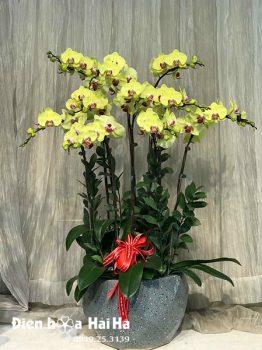 Chậu hoa lan hồ điệp 10 cây vàng