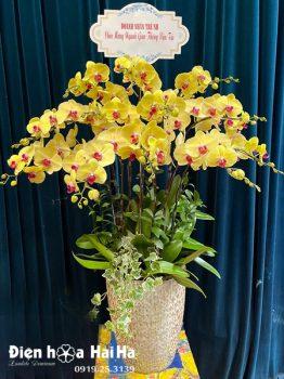 Chậu hoa lan hồ điệp 12 cây màu vàng