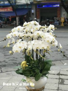 Chậu hoa lan hồ điệp 20 cây màu trắng