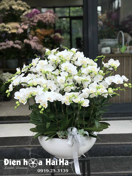 Chậu hoa lan hồ điệp 25 cây màu trắng
