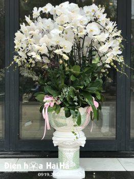 Chậu hoa lan hồ điệp 30 cây màu trắng