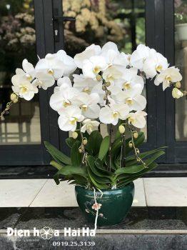 Chậu hoa lan hồ điệp 5 cây màu trắng