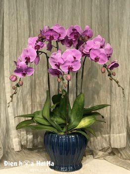 Chậu hoa lan hồ điệp 5 cây tím hồng