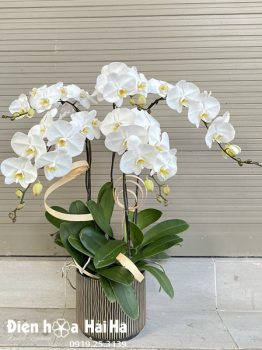 Chậu hoa lan hồ điệp 5 cây trắng
