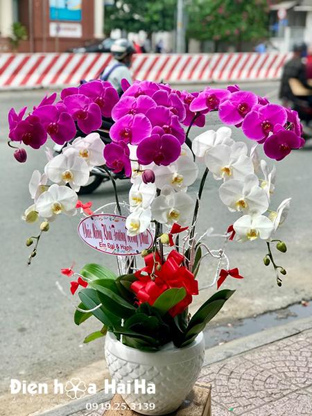 Chậu hoa lan hồ điệp 6 cây