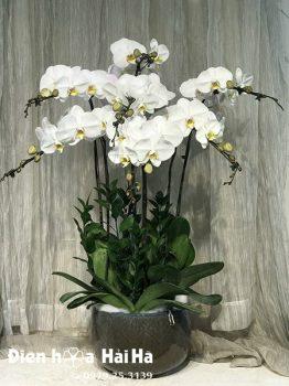 Chậu hoa lan hồ điệp 7 cây màu trắng