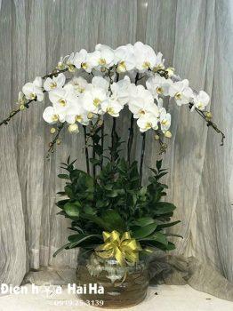 Chậu hoa lan hồ điệp 8 cây màu trắng