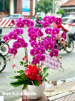 Chậu hoa lan hồ điệp 8 cây hồng tím