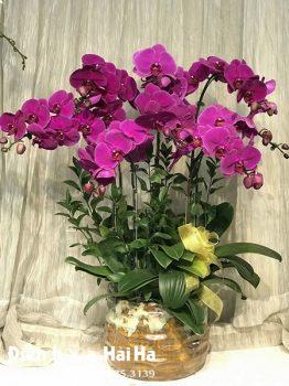 Chậu hoa lan hồ điệp 8 cây màu tím