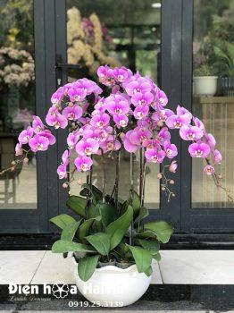 Chậu hoa lan hồ điệp 9 cây màu hồng