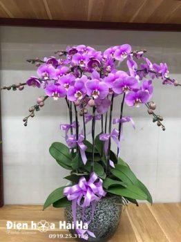 Chậu hoa lan hồ điệp 9 cây màu tím nhạt