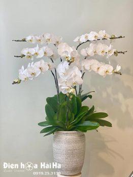 Chậu hoa lan hồ điệp 9 cây màu trắng