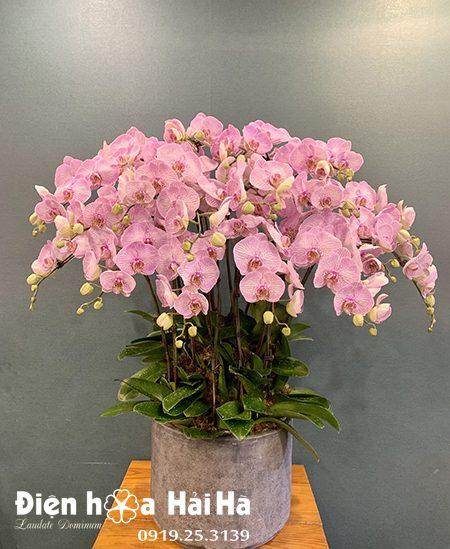 Chậu hoa lan hồ điệp 16 cây màu hồng