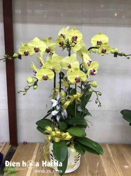 Chậu hoa lan hồ điệp 5 cây màu vàng