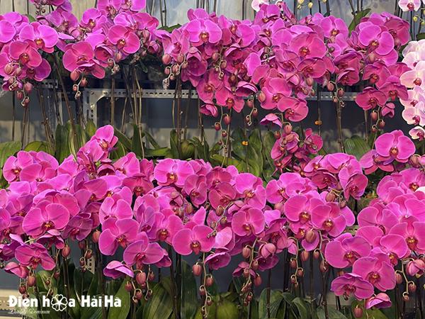 Hoa lan hồ điệp tím đỏ
