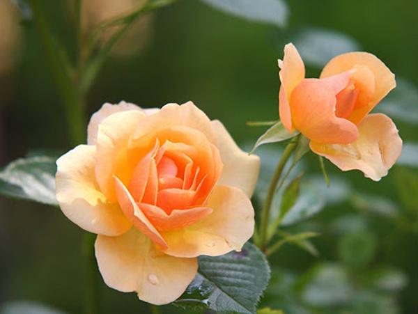 Ý nghĩa hoa hồng cam nhạt - tình hữu nghị chân thành bền vững