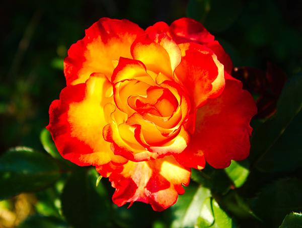 Ý nghĩa của hoa hồng cam - ngọn lửa đam mêm khát vọng