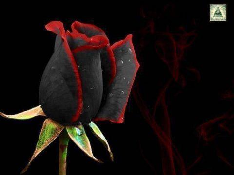 Ý nghĩa hoa hồng đen – Loài hoa huyền bí như thế nào?