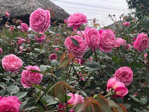 Ý nghĩa hoa hồng phấn và nguồn gốc các sắc màu