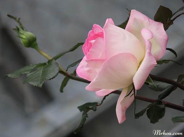 Ý nghĩa hoa hồng phấn cho tình yêu chớm nở ngọt ngào