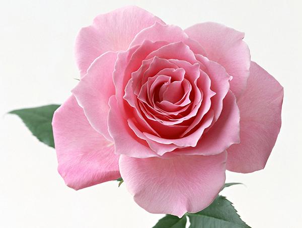 Ý nghĩa hoa hồng phấn mang lại niềm vui, sự cảm thông