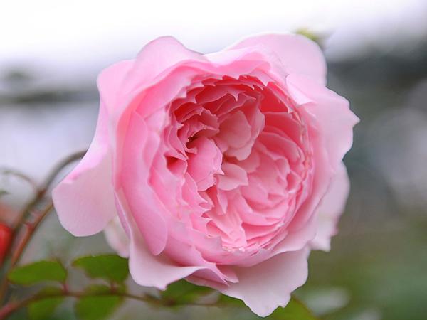 Ý nghĩa hoa hồng phấn tôn vinh người phụ nữ yêu thương
