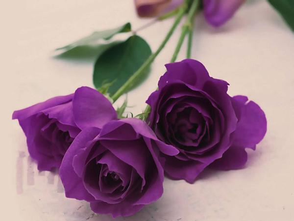 Ý nhĩa hoa hồng tím mang lại may mắn, bình yên và hạnh phúc cho gia đình