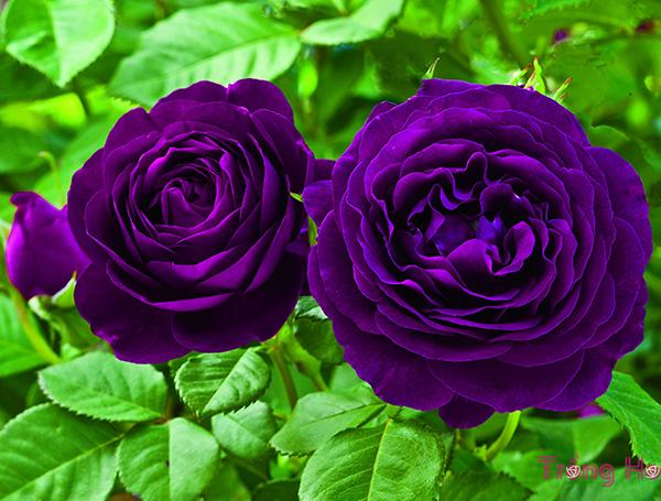 Ý nghĩa hoa hồng tím trong tình yêu cuộc sống