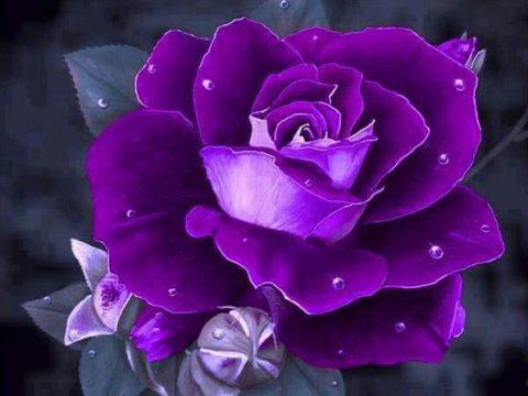 Bí ẩn ý nghĩa hoa hồng tím trọn vẹn nhất