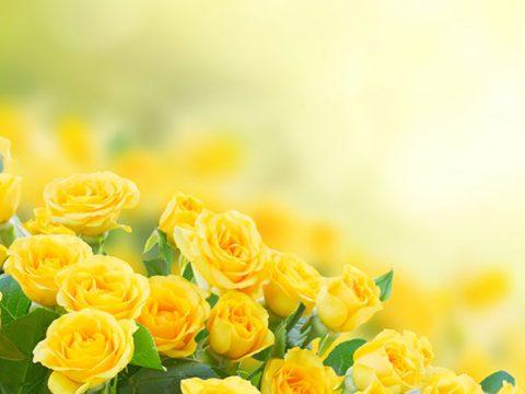 Ý nghĩa hoa hồng vàng gam màu đặc biệt nhất